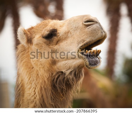 funny camel big lip - stock photo