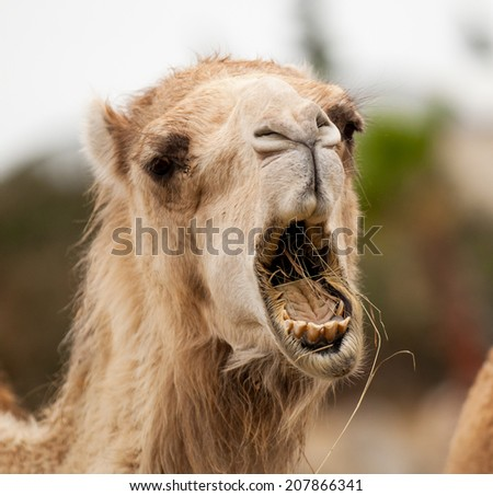 funny camel open mouth - stock photo
