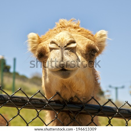 funny camel portrait. Happy camel, The facial expression of a camel - stock photo
