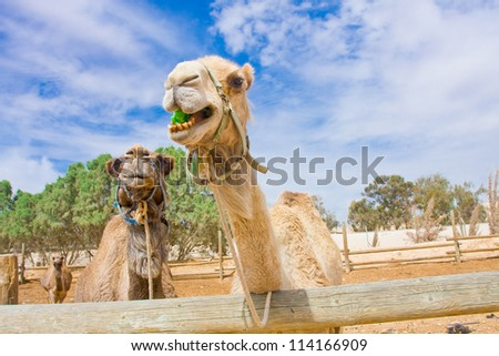 Funny camels trying to reach to the fresh salad leaves - stock photo