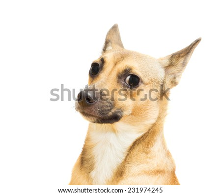 funny canine snout close-up on a white background isolated - stock photo