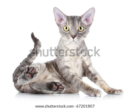 Funny cat breed Devon Rex sitting on a white background - stock photo