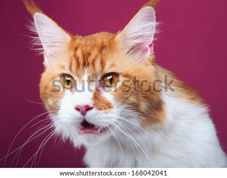 Funny cat Maine Coon is isolated on a purple background. - stock photo