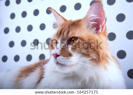 Funny cat Maine Coon is isolatedon on a black and white background. - stock photo
