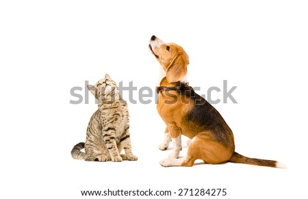 Funny cat Scottish Straight and a beagle dog sitting together isolated on white background  - stock photo