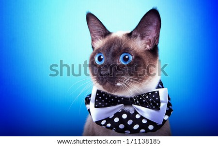 Funny cat with bow-tie is isolated on a blue background. - stock photo