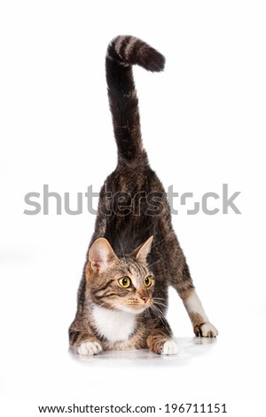 Funny cat with long tail hunting - stock photo