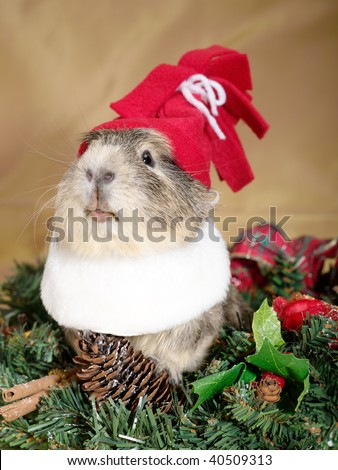 Funny Cavia on the christmas garland as Santa or dwarf