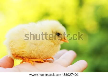 Funny chick on hand against colorful natural background