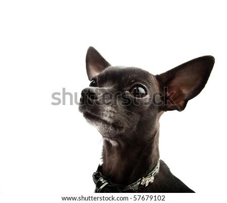 funny chihuahua - stock photo