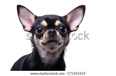 Funny chihuahua dog is isolated on a white background. - stock photo