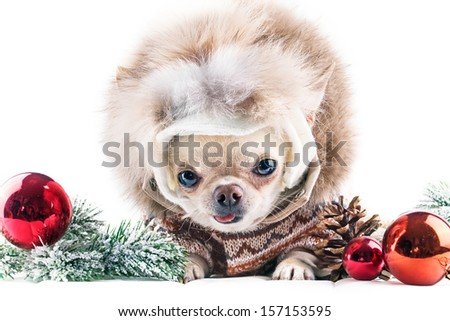 funny chihuahua in cap and coat with red christmas balls
