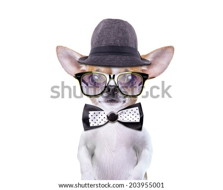 Funny chihuahua in stylish hat. Little dog in stylish sunglasses - stock photo