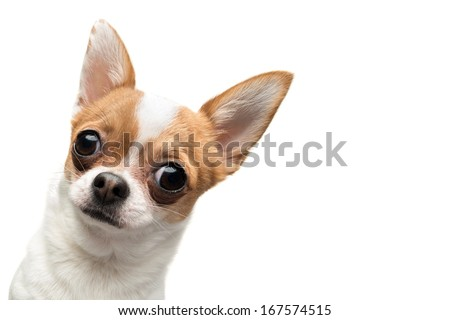 Funny Chihuahua peeping out the frame, against white background - stock photo