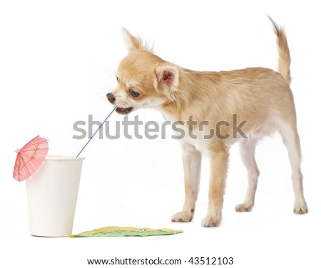 funny Chihuahua puppy drinking through a straw with cup isolated