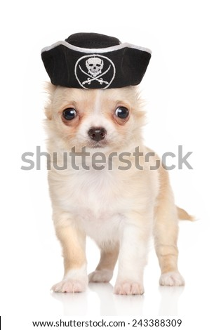 Funny Chihuahua puppy in carnival pirate hat on a white background - stock photo