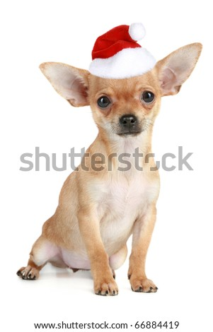 Funny chihuahua puppy in christmas hat on white background - stock photo