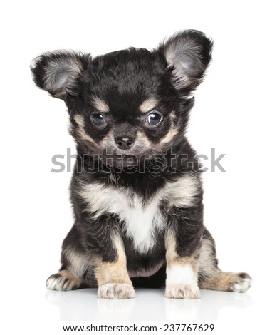 Funny Chihuahua puppy sits in front of white background - stock photo