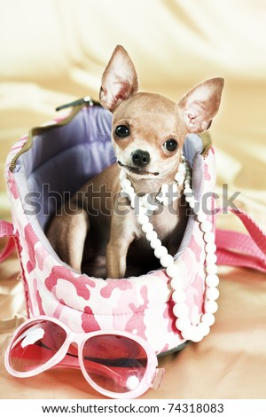 Funny Chihuahua puppy. The smallest breed of dog - stock photo