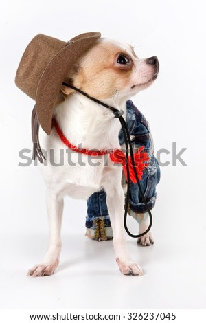 Funny chihuahua puppy with hat (isolated on white) - stock photo
