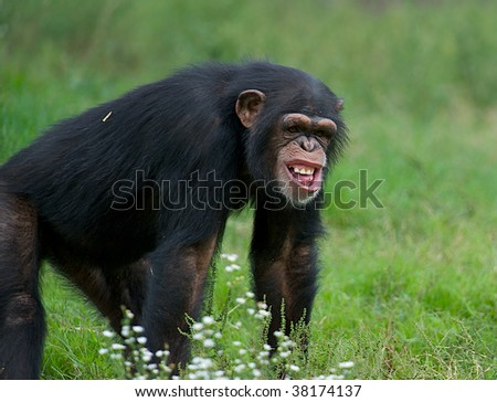 Funny chimpanzee in the grass with a very strange expression on his face - stock photo
