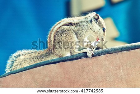 Funny Chipmunk eating something that was stolen from the people . Indian palm squirrel .    - stock photo