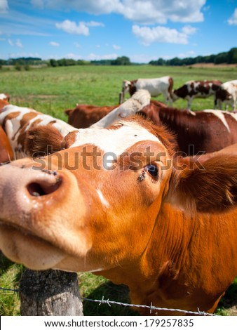 Funny close up of a cow grazing in a field in the summer - stock photo