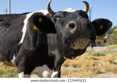 Funny closeup of a nosy black and white cow - stock photo