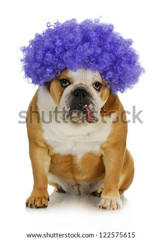 funny clown dog - english bulldog wearing purple clown wig on white background - stock photo