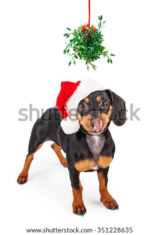 Funny conceptual image of a wiener dog begging for a kiss under a Christmas mistletoe - stock photo