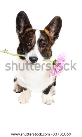 Funny corgi dog holding a flower in front of a white background - stock photo