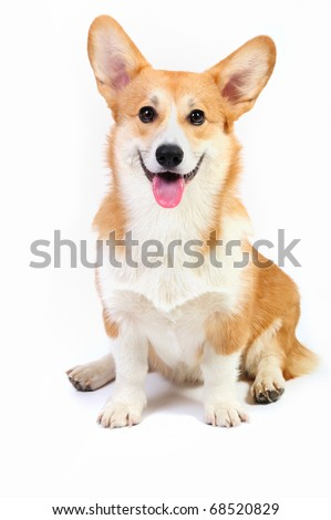 Funny corgi pembroke in studio in front of a white background - stock photo