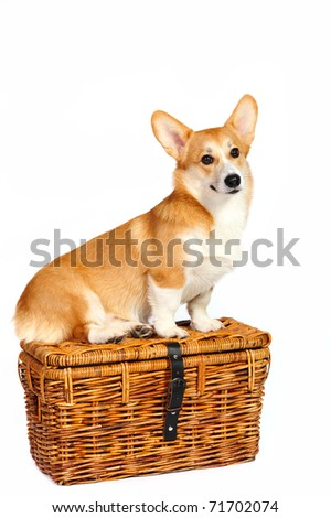 Funny corgi pembroke in studio in front of a white background sitting on a travel basket - stock photo