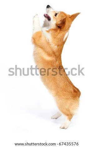 Funny corgie dog standing up on his rear legs on the white background in studio - stock photo