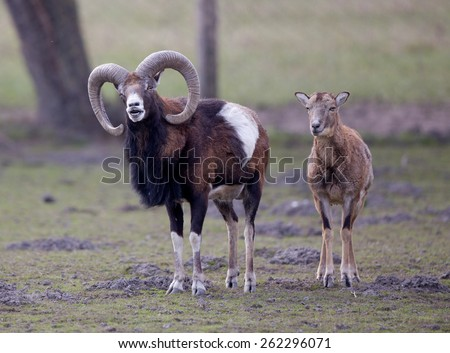Funny couple of mouflons, male winking at camera - stock photo