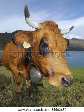 funny cow - stock photo