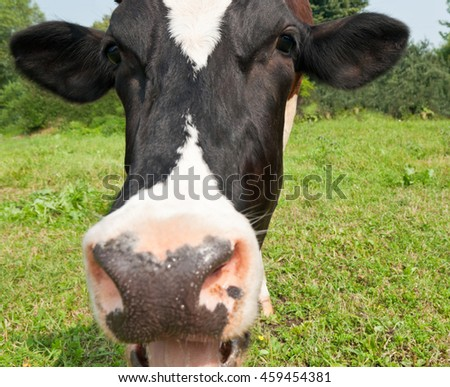 Funny cow, close up - stock photo