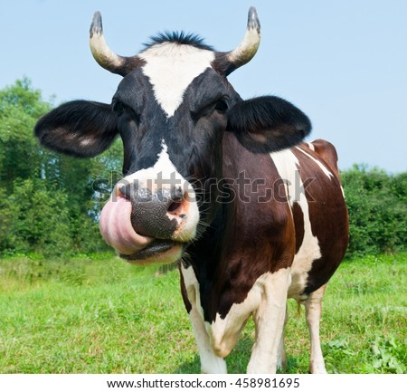 Funny cow in the meadow  - stock photo