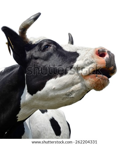 Funny cow isolated on white/Cow/Cow isolated on white - stock photo
