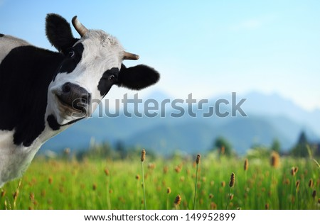 Funny cow on a green meadow looking to a camera with Alps on the background - stock photo