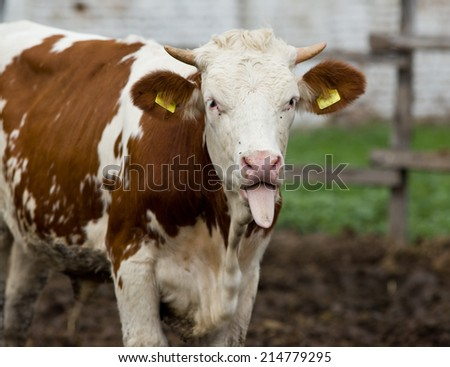 Funny cow portrait with tongue stuck out - stock photo