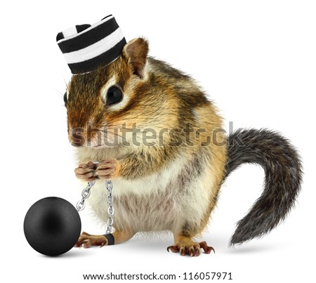Funny criminal chipmunk in prison hat, isolated on white