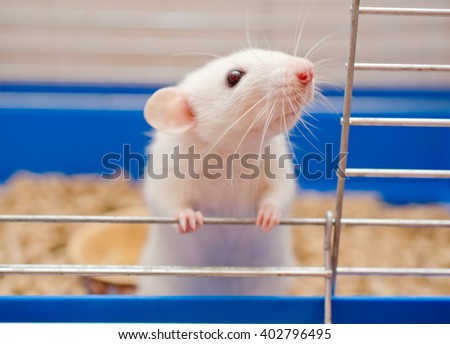 Funny curious white rat looking out of a cage (shallow DOF, selective focus on the rat nose and whiskers) - stock photo