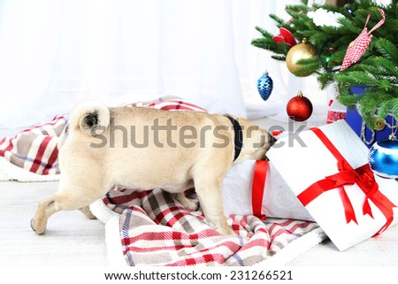 Funny, cute and playful pug dog on white carpet near Christmas tree - stock photo