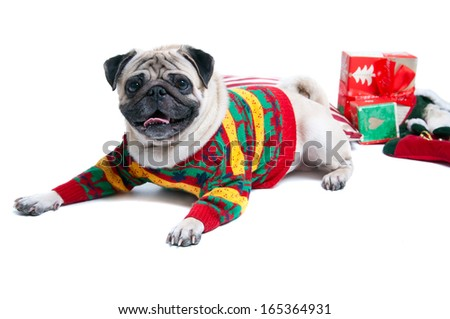 Funny, cute and playful pug dog pet wearing warm woolen knitted sweater, lying on the cushion, Christmas presents round it, smiling with toothy smile, looking at camera. Isolated on white background - stock photo