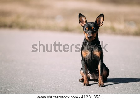 Funny Cute Female Black Color Miniature Pinscher Pincher Sit On Road Outdoor