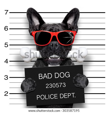funny cute french bulldog holding a placard while a mugshot is taken, bone in mouth and guilty , wearing red sunglasses - stock photo