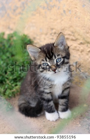 Funny cute gray kitten sits on the ground and sniffs