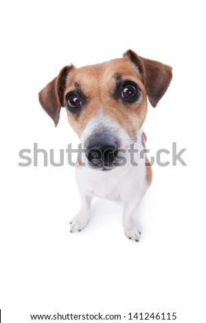 funny cute Jack Russell terrier looking curiously at the camera from the bottom up. lovely puppy. animal emotions