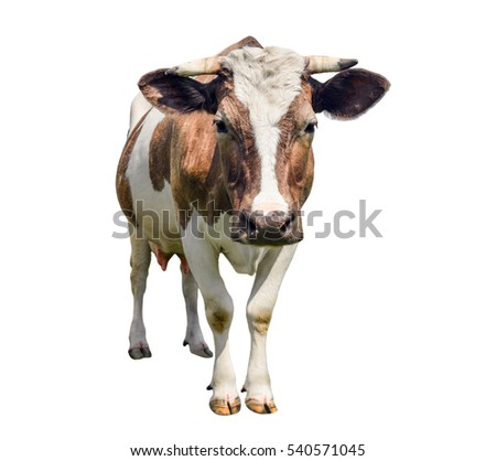 Funny cute  Looking at camera red cow isolated on white. Funny spotted cow. Farm animals. Cow, standing full-length in front of white background. Pet red young cow on white.